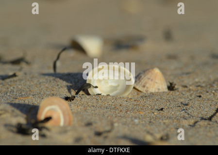 Close-up of common limpet shells with one upturned on seashore