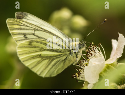 green-veined white butterfly / pieris napi - Stock Photo