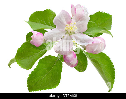 Blossom apple with leaf isolated - Stock Photo