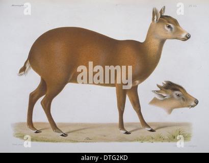 Elaphodus cephalophus, tufted deer - Stock Photo