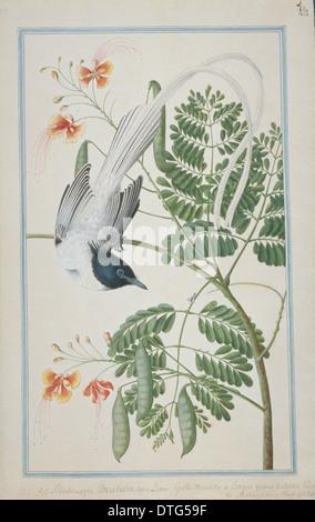 Terpsiphone paradisi, Asian paradise-flycatcher - Stock Photo