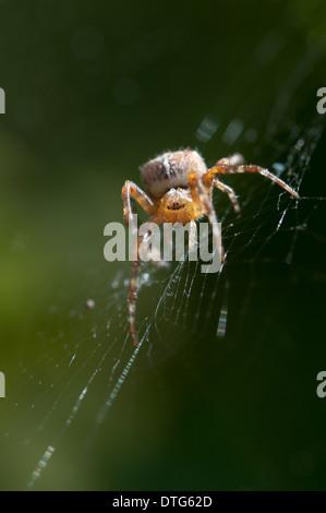 Orb-Weaving Spider (Araneus diadematus) on his web with morning dew. - Stock Photo