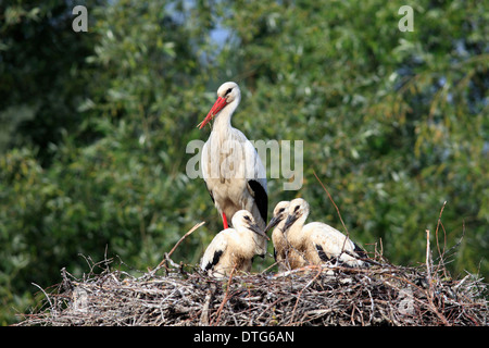 White Stork with youngs, at nest, Philippsburg, Baden-Wurttemberg, Germany / (Ciconia ciconia)