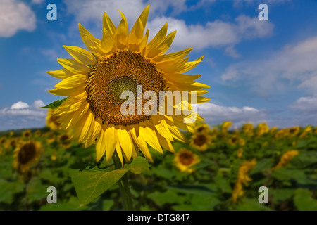 A beautiful Sunflower stands out in a sunflower field in a sunny warm August day. - Stock Photo