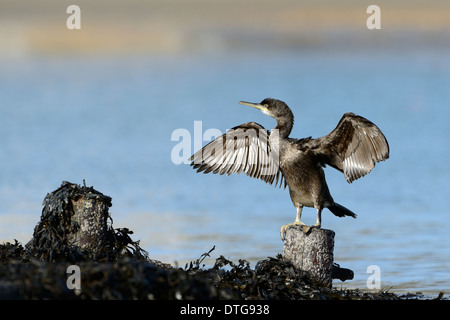 Shag (Phalacrocorax aristotelis) drying wings, UK - Stock Photo