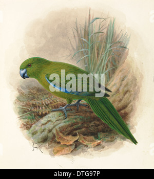 Antipodes Island Parakeet, Cyanoramphus unicolor