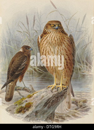 Swamp Harrier 'Kahu', Circus approximans (young and adult) - Stock Photo