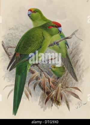 Yellow-crowned Parakeet 'Kakariki', Cyanoramphus. Red-crowned Parakeet, C. novaezelandiae. Orange-fronted Paraket, C. malherbi