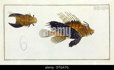 Scorpaena volitans [Pterois volitans] - Stock Photo