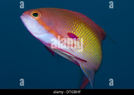 Male Scalefin Anthias, Pseudanthias squamipinnis, The Maldives - Stock Photo