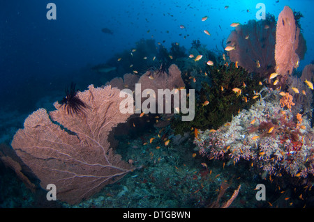 School of Scalefin Anthias, Pseudanthias squamipinnis, with Sea Fans and Cup Corals, The Maldives - Stock Photo