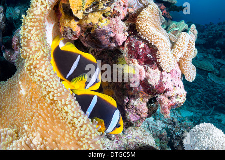 Two clownfishes find protection in their host sea anemone on a tropical reef in Fiji. - Stock Photo
