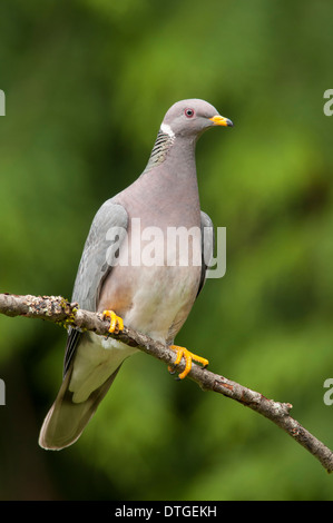 Band-tailed Pigeon, Patagioenas fasciata - Stock Photo