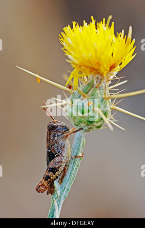 Blue-winged Grasshopper (Sphingonotus caerulans) and Yellow Star Thistle or Golden Starthistle (Centaurea solstitialis) - Stock Photo