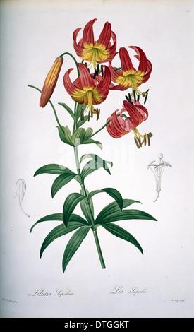 Lilium superbum, Turk's cap lily - Stock Photo