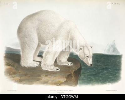 Ursus maritimus, polar bear - Stock Photo