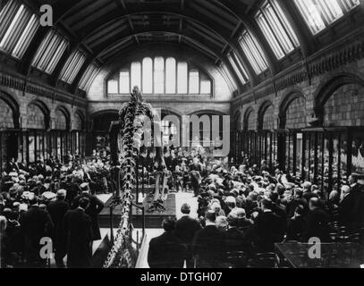Diplodocus carnegii, presented by Mr Andrew Carnegie and unveiled by Lord Avebury. 12 May, 1905. - Stock Photo