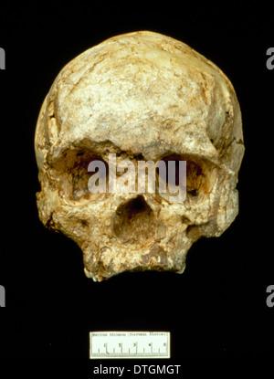 Homo sapiens (Wadjak 1) cranium