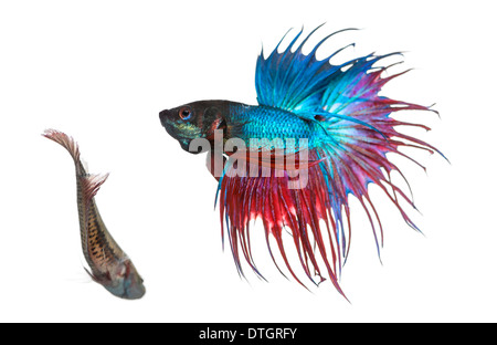 Male and female Siamese fighting fish in a courtship dance, Betta splendens, against white background - Stock Photo