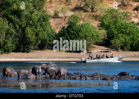 From Victoria Falls is possible to visit the nearby Botswana. Specifically Chobe National Park. Hippos. - Stock Photo