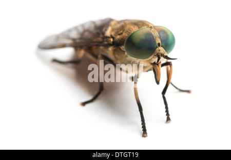 Horsefly, Tabanus, against white background - Stock Photo