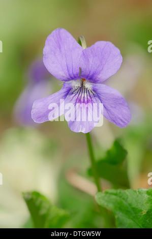 Early Dog-violet (Viola reichenbachiana, Viola silvestris), blossoms, North Rhine-Westphalia, Germany - Stock Photo