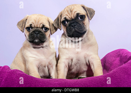 Two Pugs, puppies - Stock Photo