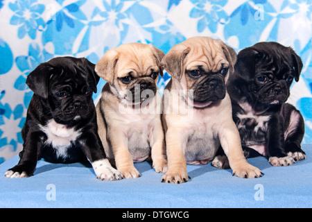 Four Pugs, puppies - Stock Photo