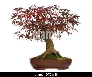 Japanese Maple bonsai tree, Acer palmatum, against white background - Stock Photo