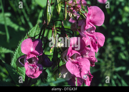 DEEP PINK FLOWERS AND GREEN SEED PODS OF THE HIMALAYAN BALSAM PLANT [ Impatiens glandulifera ]