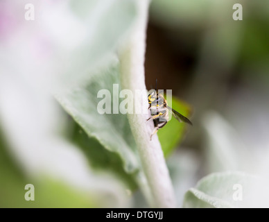 Wool carder bee (Anthidium manicatum) resting on lamb's ear - Stock Photo