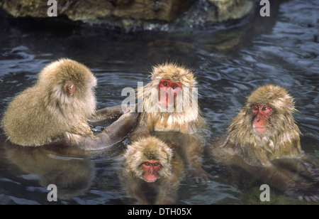 FOUR SNOW MONKEYS [JAPANESE MACAQUE  (Macaca fuscata) ] BATHING IN  A THERMAL POOL  IN THE JAPANESE ALPS - Stock Photo