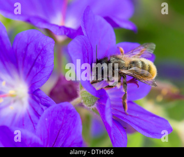 The red mason bee Osmia bicornis (formerly Osmia rufa) foraging on a hardy geranium cranesbill in June garden - Stock Photo