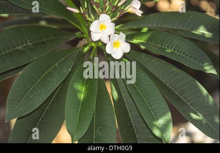 FRANGIPANI [PLUMERIA ] FLOWERS AND LEAVES - Stock Photo