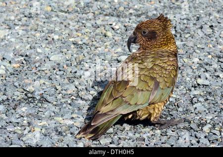 Portrait of Kea Mountain Parrot (nestor notabilis) in Fiordland, New Zealand. - Stock Photo