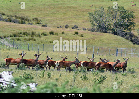 Flock of Red deer in a Deer farm in the south island of New Zealand - Stock Photo