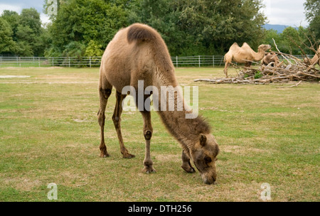 some Bactrian Camels at fed on a farm in Southern Germany - Stock Photo