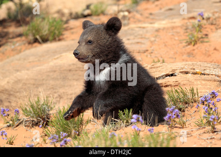 Grizzly Bear, 3 months, Monument Valley, Utah, USA / (Ursus arctos horribilis) - Stock Photo