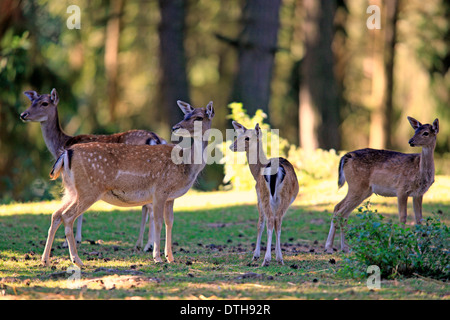 Fallow Deer, females and youngs / (Dama dama) - Stock Photo