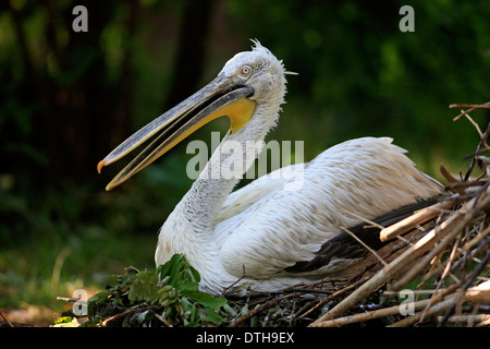 Dalmatian Pelican, on nest / (Pelecanus crispus) - Stock Photo