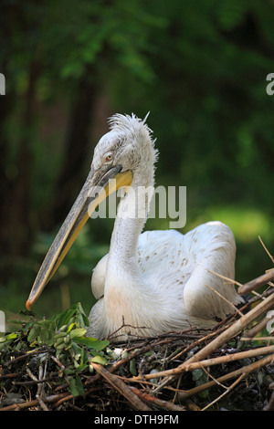 Dalmatian Pelican, on nest / (Pelecanus crispus) - Stock Photo