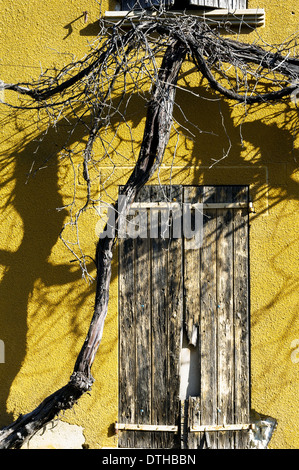 Europe, France, Alpes-de-Haute-Provence, Valensole. Vine shoot in front of an old house. - Stock Photo