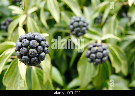 Common ivy (Hedera Helix)  showing flowers that have turned into black berries, England, UK - Stock Photo