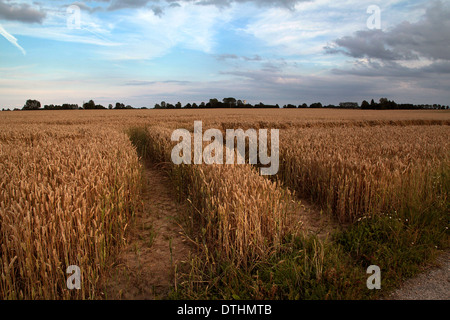 Field of ripe wheat with tractor tracks in Lieurey, Normandy, France, days before being harvested. - Stock Photo