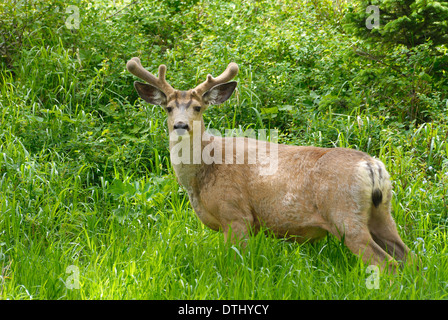 mature mule deer buck in tall green grass in spring - Stock Photo