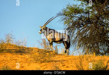 LONE ORYX [ORYX GAZELLA ] ON A KALAHARI SAND DUNE - Stock Photo