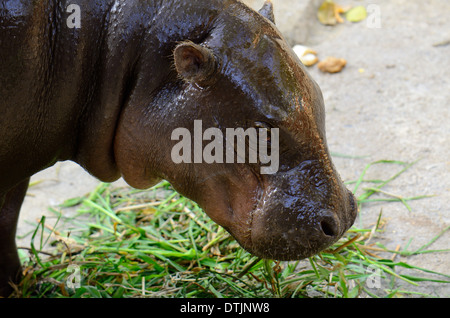 hand feeding beautiful Pygmy Hippopotamus (Choeropsis liberiensis or Hexaprotodon liberiensis) in Thai zoo - Stock Photo