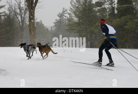 Female racer from behind in a skijoring event with two dogs pulling in a winter snowstorm Marmora Ontario Snofest - Stock Photo