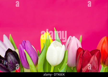 Colorful assorted Dutch Tulips on a violet background - Stock Photo
