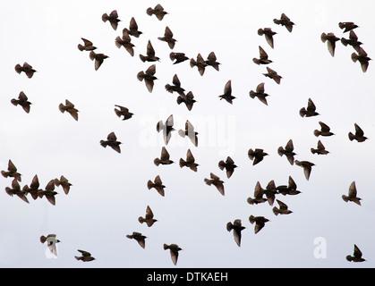 Flock of European Starlings - Stock Photo